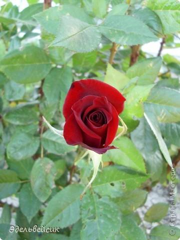 Начнем любоваться красотой с куста чайной розы. Пахнет она невероятно. Вкусный аромат стоит вокруг) А варенье из нее какое... Ммм...))) И чай невероятно ароматный) фото 17