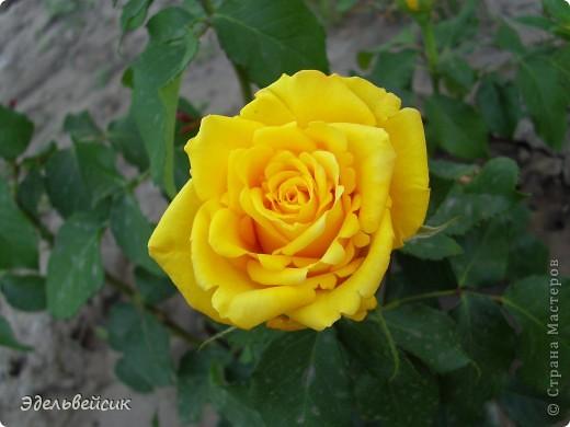 Начнем любоваться красотой с куста чайной розы. Пахнет она невероятно. Вкусный аромат стоит вокруг) А варенье из нее какое... Ммм...))) И чай невероятно ароматный) фото 12