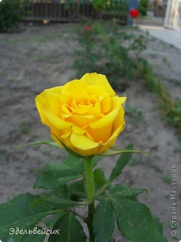 Начнем любоваться красотой с куста чайной розы. Пахнет она невероятно. Вкусный аромат стоит вокруг) А варенье из нее какое... Ммм...))) И чай невероятно ароматный) фото 13