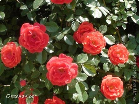 Вот и началось лето. Всё вокруг в зелени, всё цветёт! А это моя гордость - вьющаяся роза.  фото 4