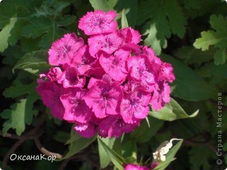 Вот и началось лето. Всё вокруг в зелени, всё цветёт! А это моя гордость - вьющаяся роза.  фото 6