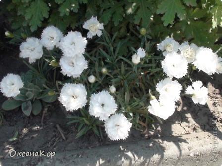 Вот и началось лето. Всё вокруг в зелени, всё цветёт! А это моя гордость - вьющаяся роза.  фото 11