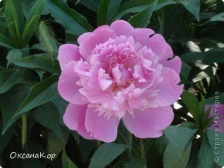 Вот и началось лето. Всё вокруг в зелени, всё цветёт! А это моя гордость - вьющаяся роза.  фото 9