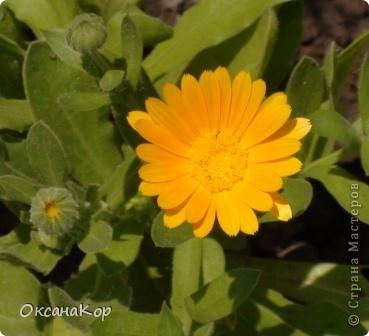 Вот и началось лето. Всё вокруг в зелени, всё цветёт! А это моя гордость - вьющаяся роза.  фото 15