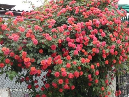 Вот и началось лето. Всё вокруг в зелени, всё цветёт! А это моя гордость - вьющаяся роза.  фото 3