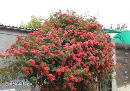 Вот и началось лето. Всё вокруг в зелени, всё цветёт! А это моя гордость - вьющаяся роза.  фото 2
