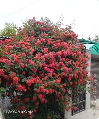 Вот и началось лето. Всё вокруг в зелени, всё цветёт! А это моя гордость - вьющаяся роза.  фото 1
