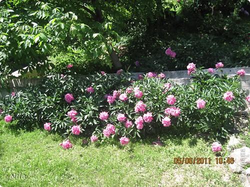 НЕсколько лет назад мы переехали в домик с прекрасным ланшафтом. Там раньше использовалось под огород кусочек территории, остальное все , (склоны), заросло кустами , деревьями и имело вид дикой природы. Тоже, по своему, было красиво, как в парке. Но хотелось цветов и газоны. И маленький огородец, где бы росло все , но с минимуиом усилий. И вот прошло 4 года. Мы с мужем и сыном, почти своими усилиями ,сделали такой мини парк или сад, или  как назвать не знаю, но место где мы все и все наши друзья и родственники любим отдыхать Приглашаю и вас к себе в гости. Этот уголок под окнами. Спереди построили гараж. Видно его крышу. Пока еще не придумали , как украсить ее. Может у кого-то есть идеи... Я постепенно буду грузить фото и описывать растения , может кому интересно, заглядывайте. Буду пополнять. очень тяжело грузится  фото 11