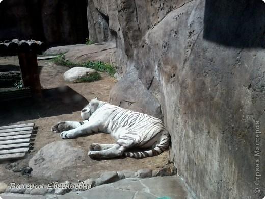 Добро пожаловать в московский зоопарк!Предлагаю вам отправиться на экскурсию по нему. Снято 12,06,2011 White swans - белые лебеди... фото 8