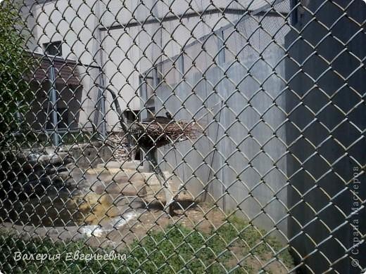 Добро пожаловать в московский зоопарк!Предлагаю вам отправиться на экскурсию по нему. Снято 12,06,2011 White swans - белые лебеди... фото 11