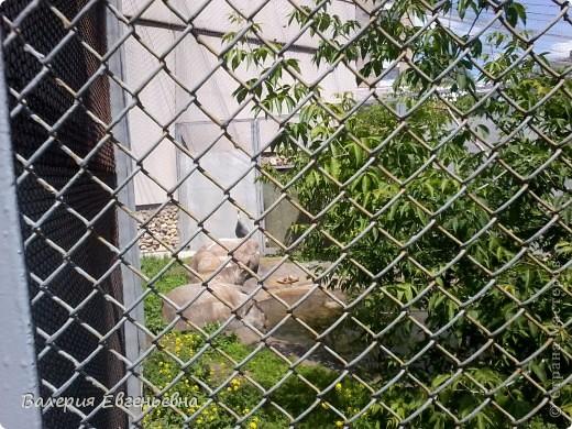 Добро пожаловать в московский зоопарк!Предлагаю вам отправиться на экскурсию по нему. Снято 12,06,2011 White swans - белые лебеди... фото 13