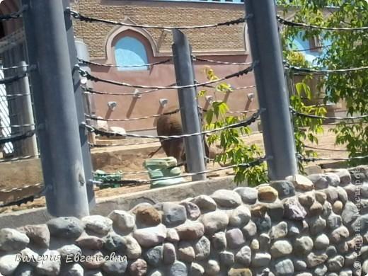 Добро пожаловать в московский зоопарк!Предлагаю вам отправиться на экскурсию по нему. Снято 12,06,2011 White swans - белые лебеди... фото 17