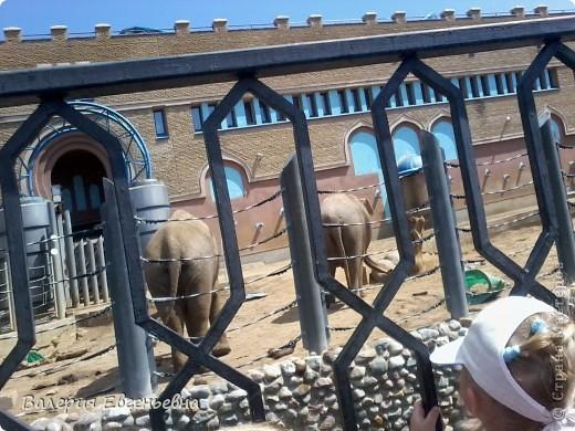 Добро пожаловать в московский зоопарк!Предлагаю вам отправиться на экскурсию по нему. Снято 12,06,2011 White swans - белые лебеди... фото 16