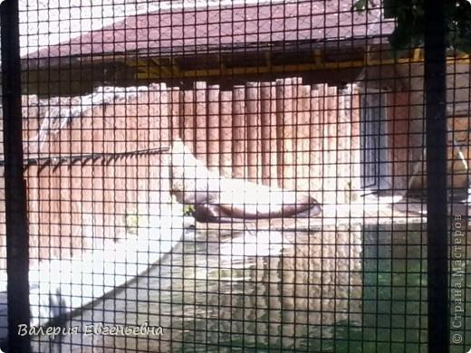 Добро пожаловать в московский зоопарк!Предлагаю вам отправиться на экскурсию по нему. Снято 12,06,2011 White swans - белые лебеди... фото 18