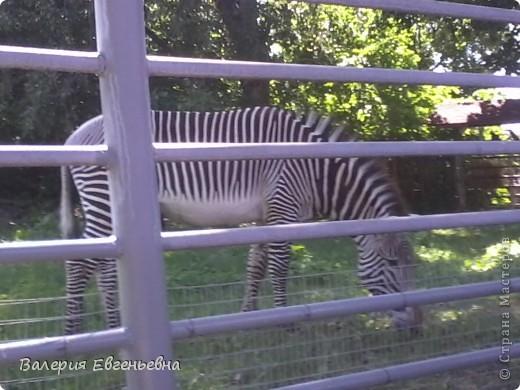 Добро пожаловать в московский зоопарк!Предлагаю вам отправиться на экскурсию по нему. Снято 12,06,2011 White swans - белые лебеди... фото 25