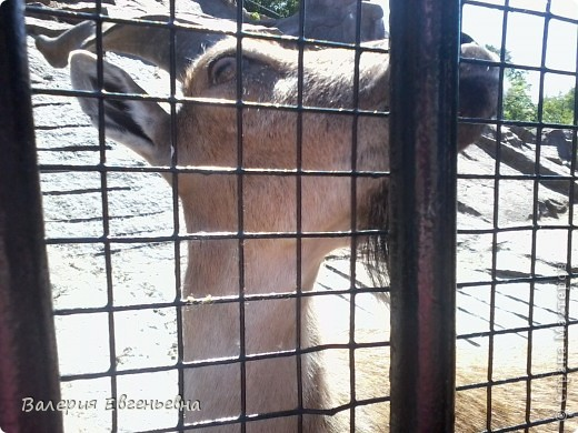 Добро пожаловать в московский зоопарк!Предлагаю вам отправиться на экскурсию по нему. Снято 12,06,2011 White swans - белые лебеди... фото 26
