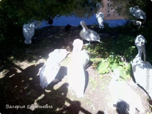 Добро пожаловать в московский зоопарк!Предлагаю вам отправиться на экскурсию по нему. Снято 12,06,2011 White swans - белые лебеди... фото 27