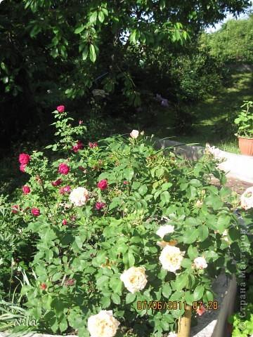 НЕсколько лет назад мы переехали в домик с прекрасным ланшафтом. Там раньше использовалось под огород кусочек территории, остальное все , (склоны), заросло кустами , деревьями и имело вид дикой природы. Тоже, по своему, было красиво, как в парке. Но хотелось цветов и газоны. И маленький огородец, где бы росло все , но с минимуиом усилий. И вот прошло 4 года. Мы с мужем и сыном, почти своими усилиями ,сделали такой мини парк или сад, или  как назвать не знаю, но место где мы все и все наши друзья и родственники любим отдыхать Приглашаю и вас к себе в гости. Этот уголок под окнами. Спереди построили гараж. Видно его крышу. Пока еще не придумали , как украсить ее. Может у кого-то есть идеи... Я постепенно буду грузить фото и описывать растения , может кому интересно, заглядывайте. Буду пополнять. очень тяжело грузится  фото 14