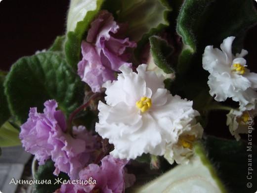 Предлагаю полюбоваться цветением моих фиалочек. Вот такая она красавица в полном цветении. фото 20