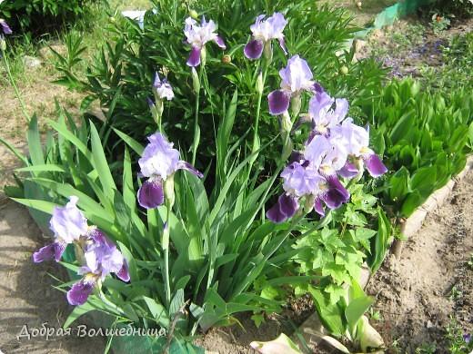 Очень грациозный и царственный цветок. Так и любовалась бы Ирисами!!!!! фото 1