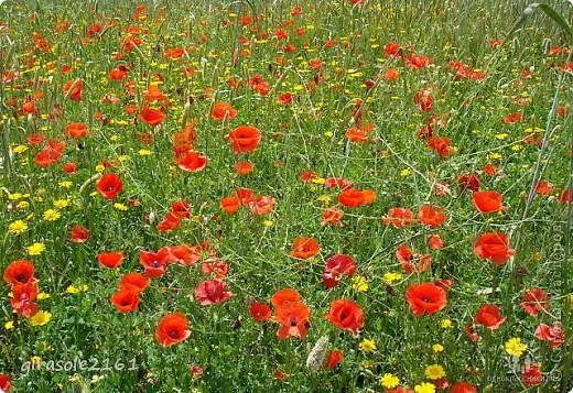 Красные маки в поле зелёном Радуют душу и сердце. Думаю, каждому это знакомо: В Рай открываются дверцы.  Маки по полю разбросаны дивно Радостный день воспевают Кто сотворил эту чудо-картину? Маки печали не знают.   фото 11