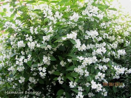 Здравствуйте, уважаемые Мастерицы!!! Сегодня у меня жасмин. Очень люблю это растение - очаровательные цветочки и изумительный запах!!! Куст жасмина растет у меня в палисаднике. фото 11