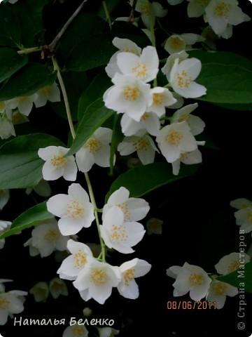 Здравствуйте, уважаемые Мастерицы!!! Сегодня у меня жасмин. Очень люблю это растение - очаровательные цветочки и изумительный запах!!! Куст жасмина растет у меня в палисаднике. фото 14