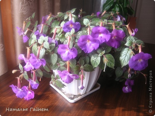 Добрый день моим гостям! Посмотрите, как цветет!!!Нафотографировала, не удержалась!Просто красиво! Это ахименес.Как распушился!Просто торжествует. фото 3