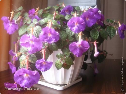 Добрый день моим гостям! Посмотрите, как цветет!!!Нафотографировала, не удержалась!Просто красиво! Это ахименес.Как распушился!Просто торжествует. фото 1