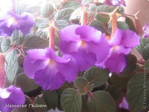 Добрый день моим гостям! Посмотрите, как цветет!!!Нафотографировала, не удержалась!Просто красиво! Это ахименес.Как распушился!Просто торжествует. фото 2