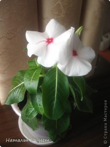 Добрый день моим гостям! Посмотрите, как цветет!!!Нафотографировала, не удержалась!Просто красиво! Это ахименес.Как распушился!Просто торжествует. фото 6