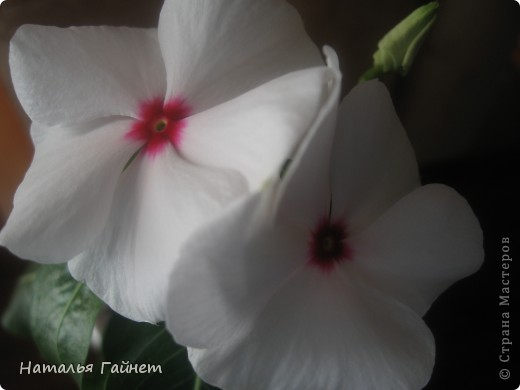 Добрый день моим гостям! Посмотрите, как цветет!!!Нафотографировала, не удержалась!Просто красиво! Это ахименес.Как распушился!Просто торжествует. фото 5