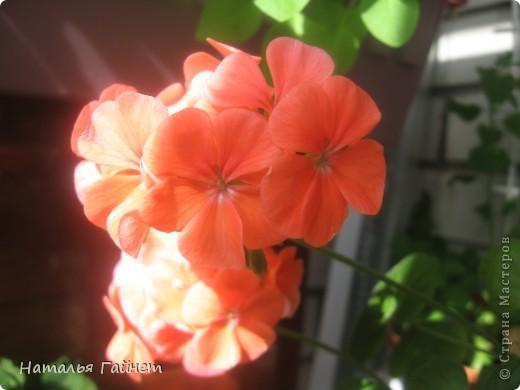 Добрый день моим гостям! Посмотрите, как цветет!!!Нафотографировала, не удержалась!Просто красиво! Это ахименес.Как распушился!Просто торжествует. фото 12