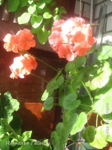 Добрый день моим гостям! Посмотрите, как цветет!!!Нафотографировала, не удержалась!Просто красиво! Это ахименес.Как распушился!Просто торжествует. фото 13