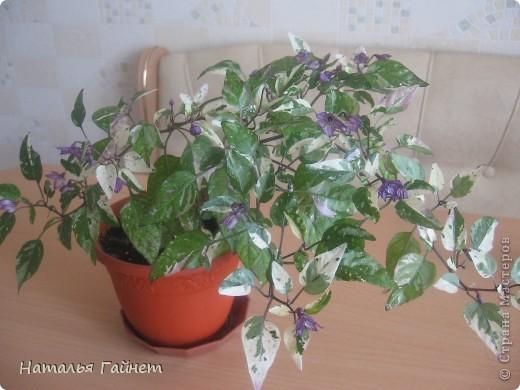 Добрый день моим гостям! Посмотрите, как цветет!!!Нафотографировала, не удержалась!Просто красиво! Это ахименес.Как распушился!Просто торжествует. фото 14