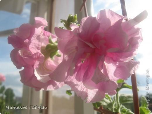 Добрый день моим гостям! Посмотрите, как цветет!!!Нафотографировала, не удержалась!Просто красиво! Это ахименес.Как распушился!Просто торжествует. фото 17