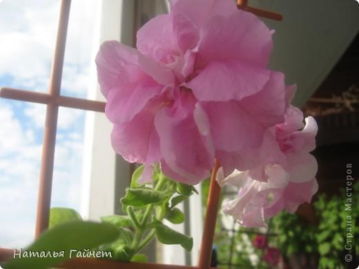 Добрый день моим гостям! Посмотрите, как цветет!!!Нафотографировала, не удержалась!Просто красиво! Это ахименес.Как распушился!Просто торжествует. фото 18