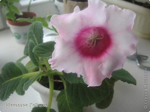 Добрый день моим гостям! Посмотрите, как цветет!!!Нафотографировала, не удержалась!Просто красиво! Это ахименес.Как распушился!Просто торжествует. фото 7