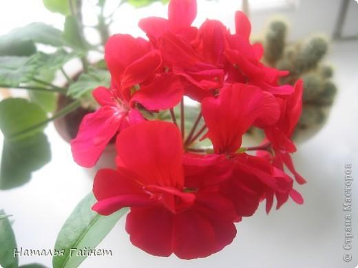 Добрый день моим гостям! Посмотрите, как цветет!!!Нафотографировала, не удержалась!Просто красиво! Это ахименес.Как распушился!Просто торжествует. фото 21