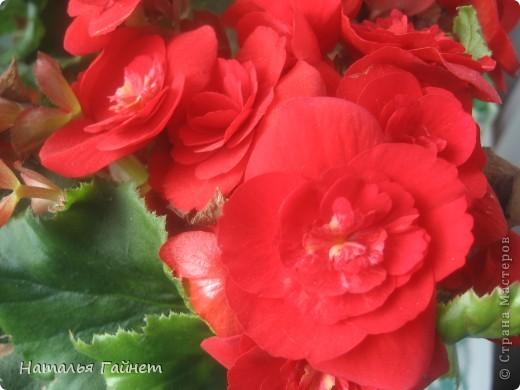Добрый день моим гостям! Посмотрите, как цветет!!!Нафотографировала, не удержалась!Просто красиво! Это ахименес.Как распушился!Просто торжествует. фото 23