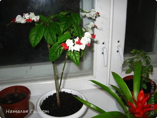 Добрый день моим гостям! Посмотрите, как цветет!!!Нафотографировала, не удержалась!Просто красиво! Это ахименес.Как распушился!Просто торжествует. фото 27
