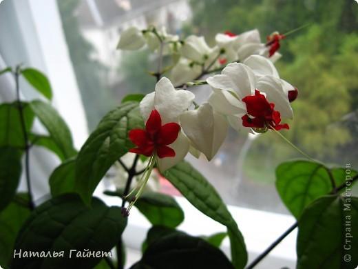 Добрый день моим гостям! Посмотрите, как цветет!!!Нафотографировала, не удержалась!Просто красиво! Это ахименес.Как распушился!Просто торжествует. фото 25