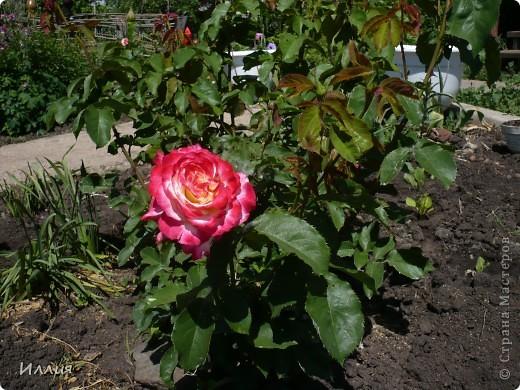 Вот такая Хозяйка сада хозяйничает теперь у нас в саду. Она очень ответственная и хозяйственная. Думаю с ее помощью и цветы будут лучше цвести и овощей будет больше, да и фрукты не пропадут. За всем она присмотрит и все проконтролирует. Вон она какя важная! фото 9