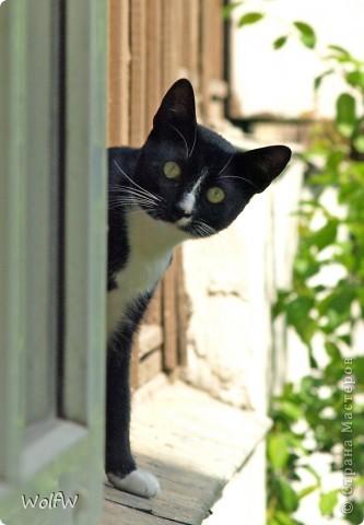 """Насмотрелась на смешные фото и решила, тоже выставить (похвастаться)   """"Съесть, не съесть..... но ТАК ЛЕНЬ!"""" Моя кошка на даче фото 5"""