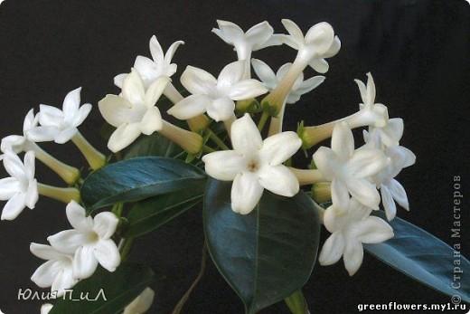 Эти беленькие цветочки, я иногда видела в свадебных букетах, но т.к. не знала названия рассмотреть их было сложновато. Потом увидела этот цветок у Сarol http://stranamasterov.ru/node/196382  (называется он оказывается  Стефанотис или мадагаскарский жасмин ) и решила слепить. фото 13