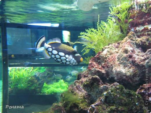 Продолжаю свой фоторепортаж о субботней поездке.   После представления в дельфинарии (http://stranamasterov.ru/node/207600) мы посетили океанариум. Он находится в том же здании. Там много разных морских и пресноводных рыб и прочей живности.  фото 13