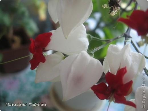 Добрый день моим гостям! Посмотрите, как цветет!!!Нафотографировала, не удержалась!Просто красиво! Это ахименес.Как распушился!Просто торжествует. фото 29