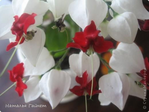 Добрый день моим гостям! Посмотрите, как цветет!!!Нафотографировала, не удержалась!Просто красиво! Это ахименес.Как распушился!Просто торжествует. фото 34
