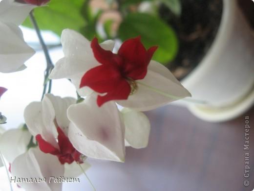 Добрый день моим гостям! Посмотрите, как цветет!!!Нафотографировала, не удержалась!Просто красиво! Это ахименес.Как распушился!Просто торжествует. фото 36