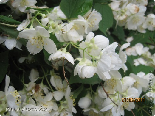 Вот и у нас цветёт жасмин. фото 5